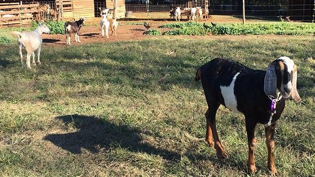 Goats at Split Creek Farm (Oct. 30, 2017/FOX Carolina)