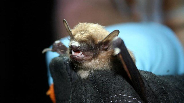 Big brown bat (Source: Wikimedia)