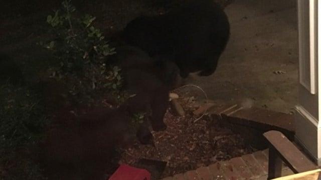 Five black bears spotted in Farm Lake neighborhood. (Credit: Debra Patrick)