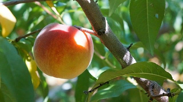 Peaches (Source: Storyblocks)