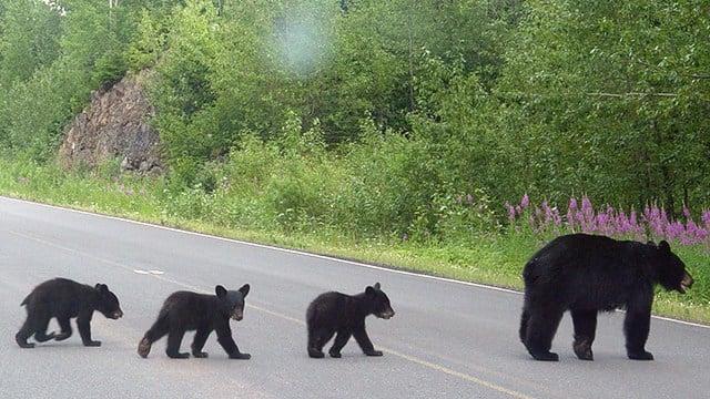 Black bears crossing road (Source: Wikimedia)
