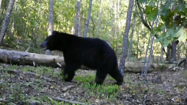 Bear roadkill increases along Upstate roads. (Courtesy: David Campbell)