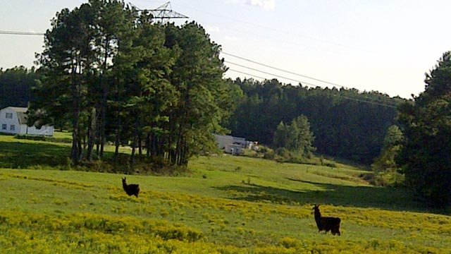 Llamas at Lazy K Farms in Woodruff, SC. (Sept. 29, 2011/FOX Carolina)