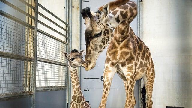 Autumn the giraffe with baby Tatu (Source: City of Greenville)