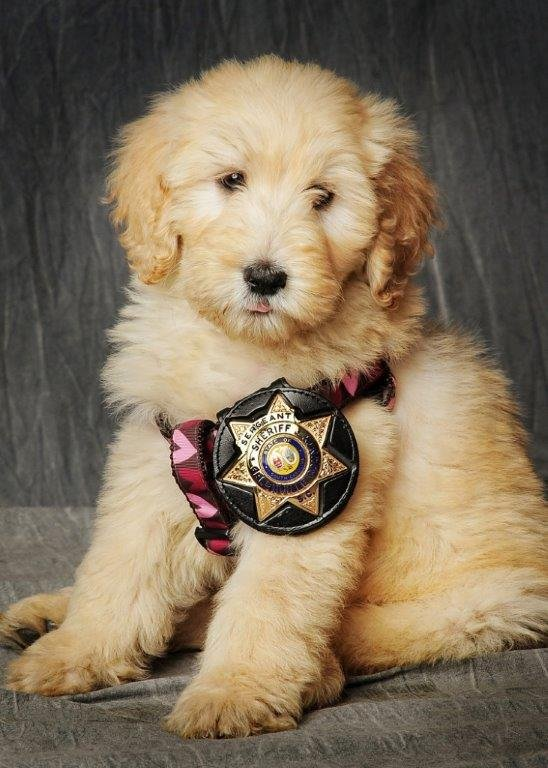 GCSO's new therapy dog, Willow (Source: GCSO).