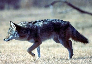 Coyote (Source: US Fish & Wildlife)