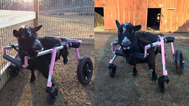 Liberty tries out her new wheelchair. (Source: FOX Carolina).