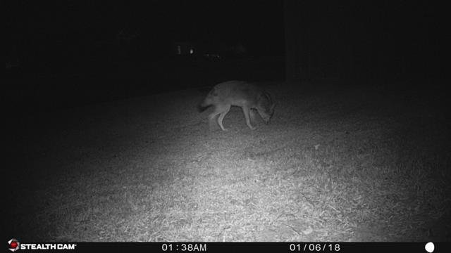 Coyote caught on camera in the Upstate.