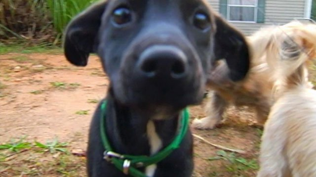 A puppy aptly named Boxcar Hunter was rescued from a train in Liberty. (Oct. 26, 2011/FOX Carolina)
