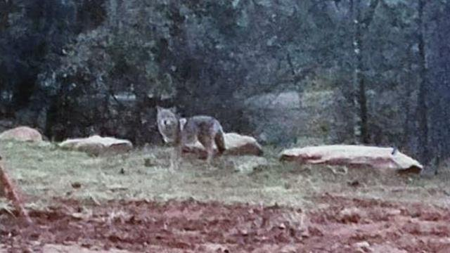 This massive coyote was spotted in Mauldin (Source: Tim Parris and James Schoolcraft)