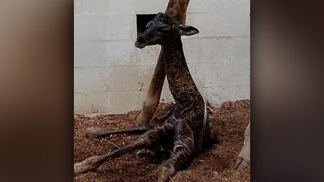 Autumn's new baby (Source: Greenville Zoo vet tech)