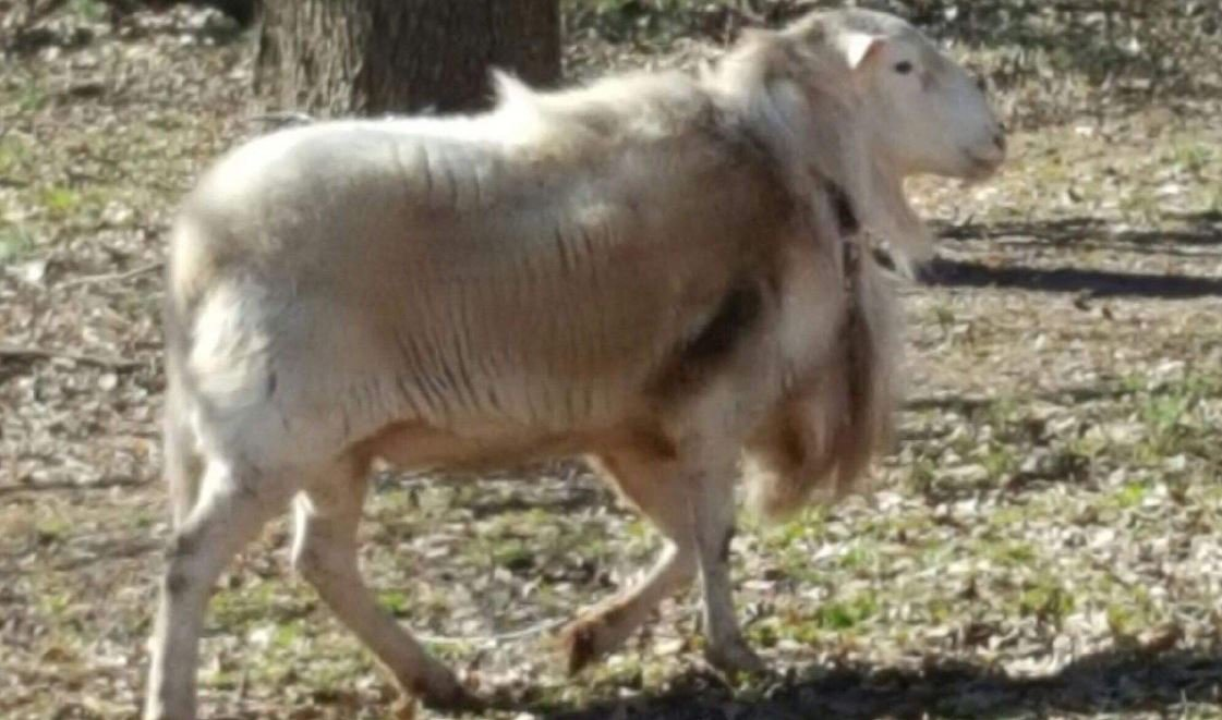 The roaming ram (Source: Anderson Co. Sheriff's Office)