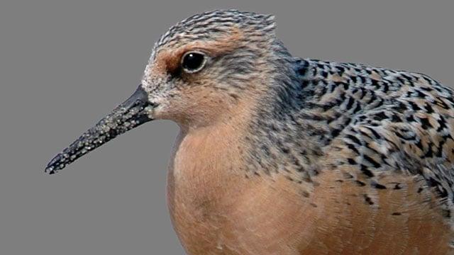 Rufa red knot bird (Source: AP)