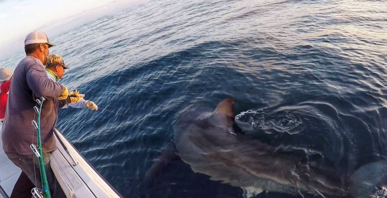 Anglers tag massive 16 foot great white shark off sc for Outcast sport fishing