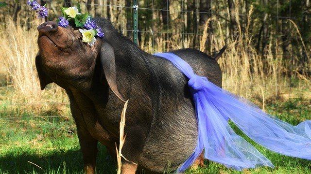 MooShu in her maternity shoot. (Source: Corva Bella Farm/Cristiana Bell/Connor Bell)