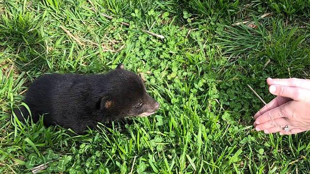 Abandoned bear cub. (Source: Toby Jenkins).