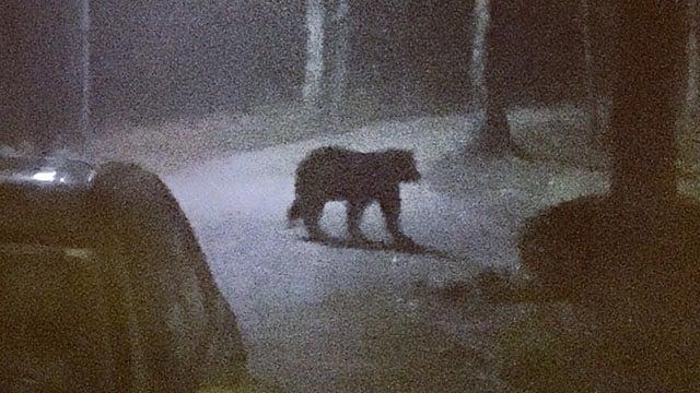 Bear in Travelers Rest (Source: Jami Whittaker)