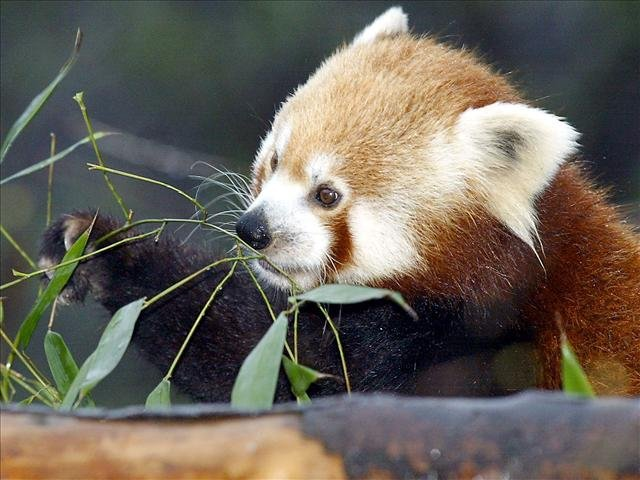 Red panda (Source: Associated Press)