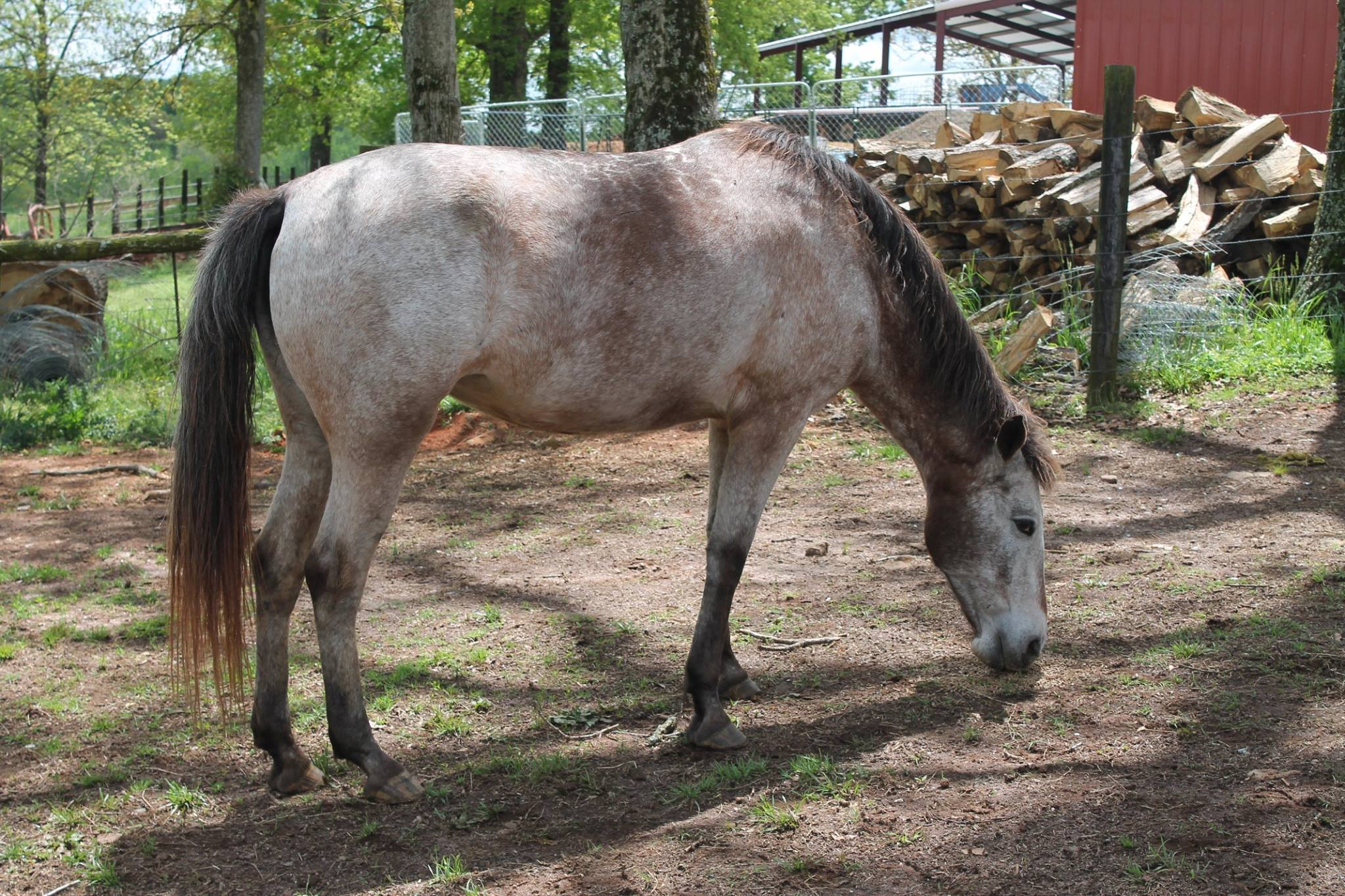 One of the horses up for auction (Source: ACSO)