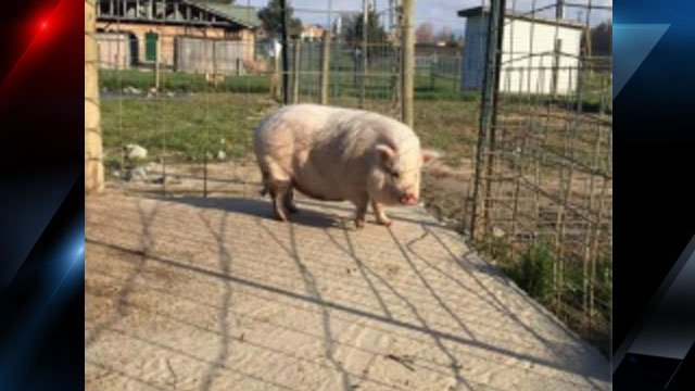 Image of the pig for sale (Source: HCSO)