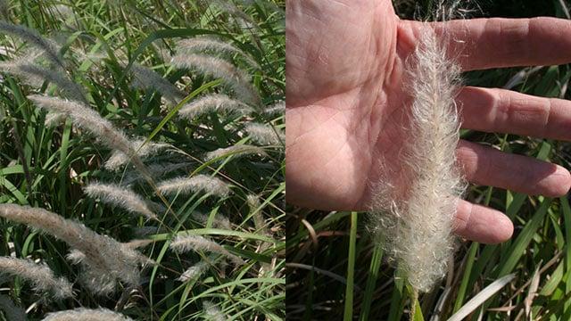Cogongrass (Source: Clemson University Department of Plant Industry)