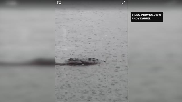 Only on FOX: Alligator in Lake Hartwell?