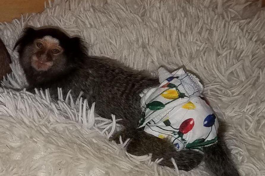 Missing marmoset (Source: Spartanburg PD)