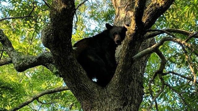Black bear in Simpsonville. (Source: SPD)