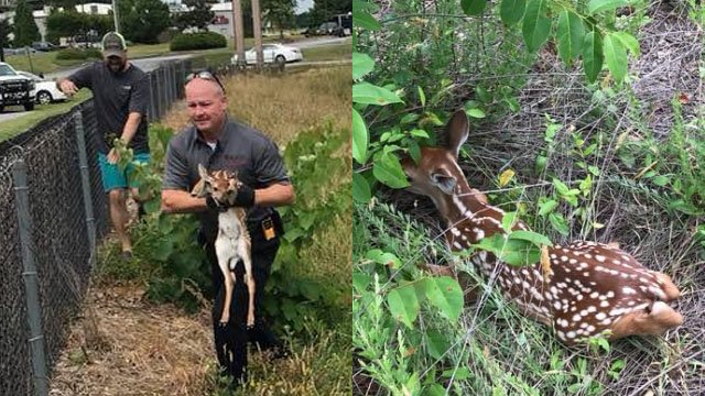 Firefighters rescue fawn (Source: BSFD)