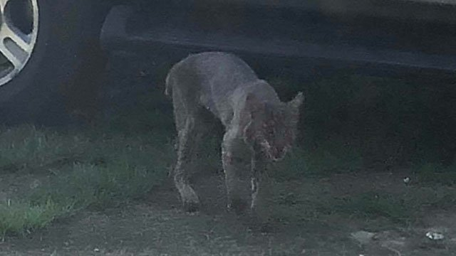 Photo of rabid bobcat before attack (Source: DeDe Phillips)