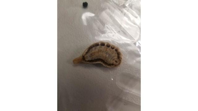 Venomous asp caterpillar (Source: CNN)