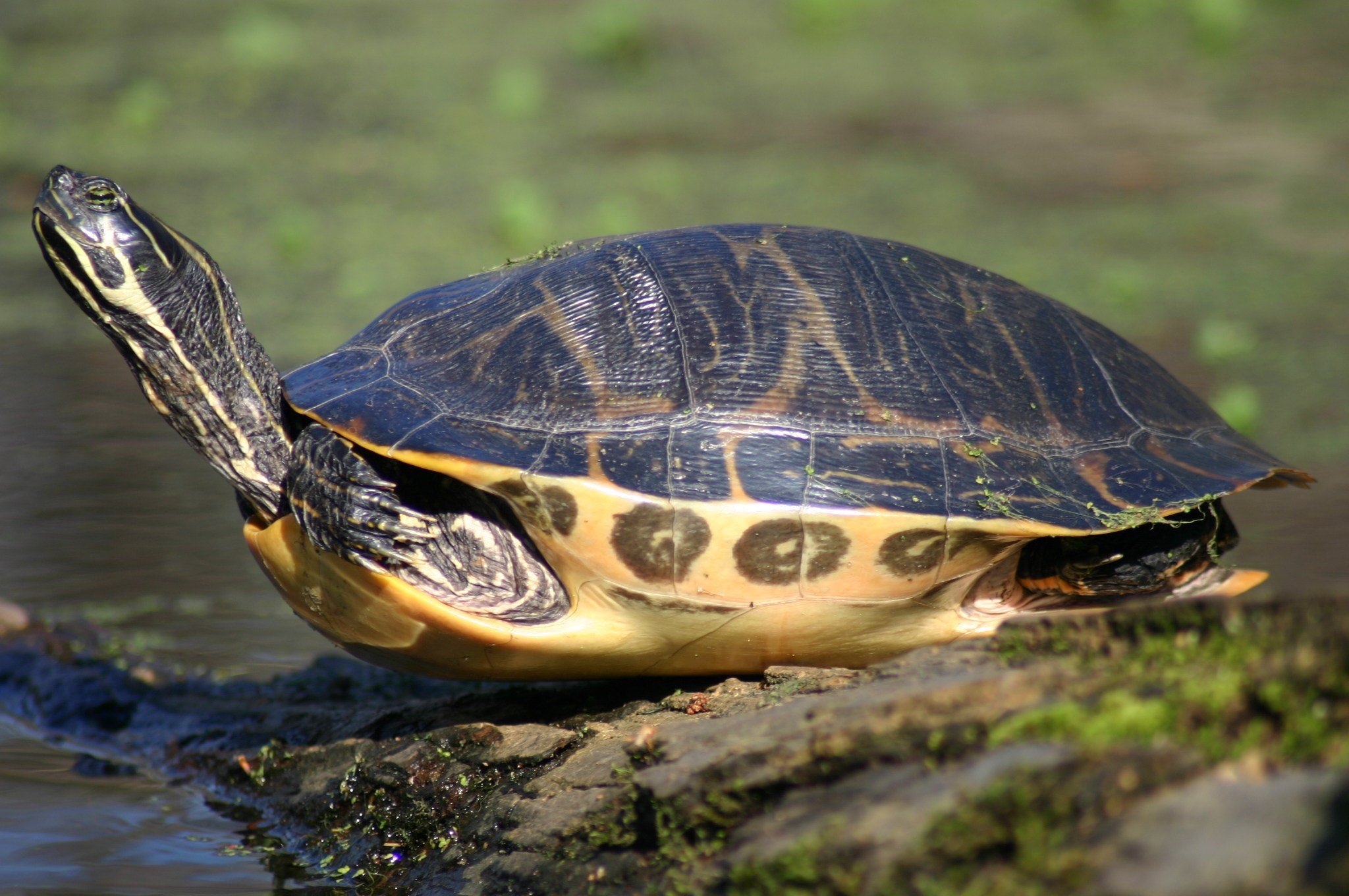 Painted turtle (Wikimedia Commons)