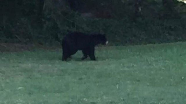 Mother bear spotted in Seneca (Source: Jim Mason)