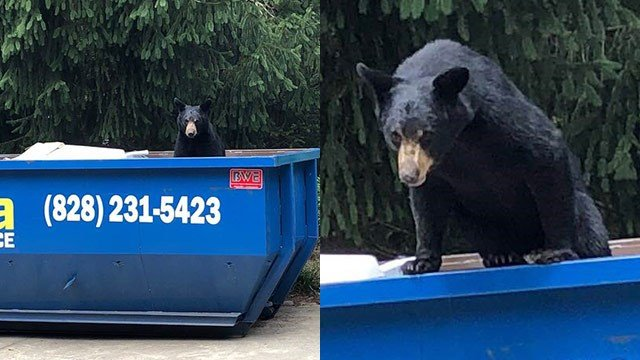 Bear in dumpster on Town Mountain Road (Source: Darlene Largent)