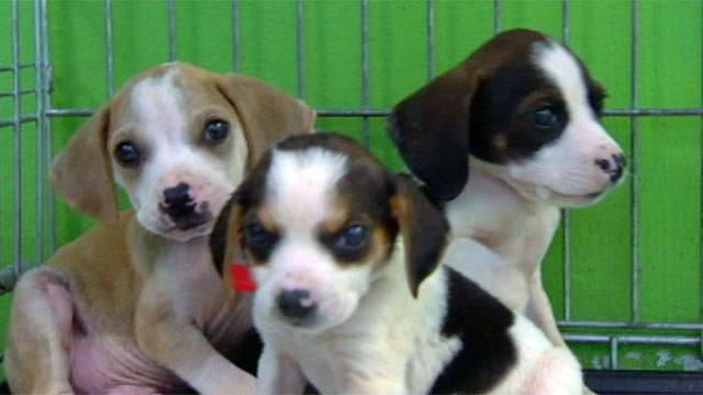Some of the puppies available for adoption at the Greenville Humane Society. (April 19, 2012/FOX Carolina)