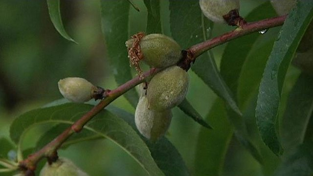Upstate peach farms fear cooler temperatures as their crops begin to bloom. (April 22, 2012/FOX Carolina)