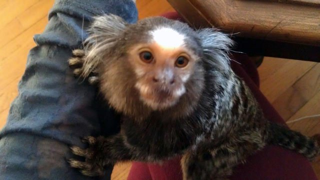 Cous-Cous, the marmoset monkey police say bit three people. (Courtesy Cous-Cous' family)