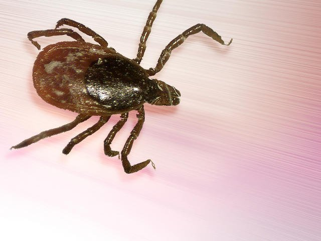 A female black-legged tick. (AP Image)