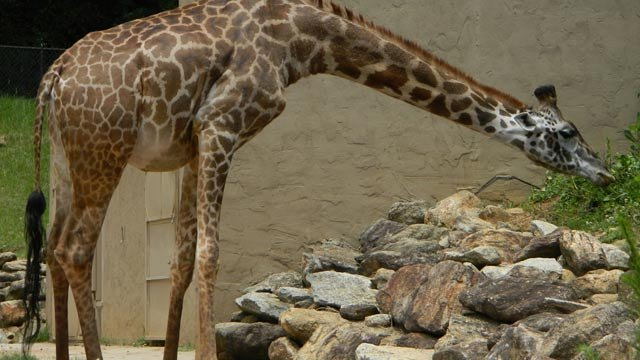 The Greenville Zoo's first pregnant giraffe grazes. (Courtesy The Greenville Zoo)