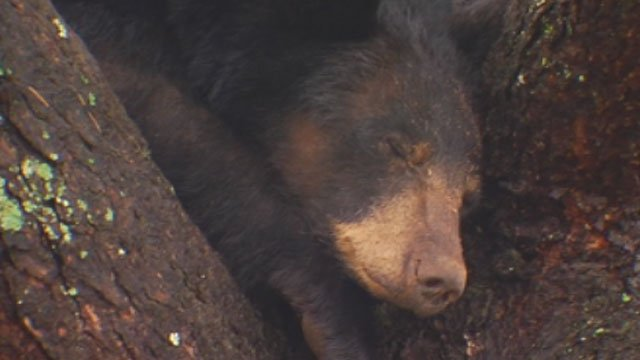 A black bear is seen grabbing a few winks in a tree in downtown Pickens. (June 5, 2012/FOX Carolina)