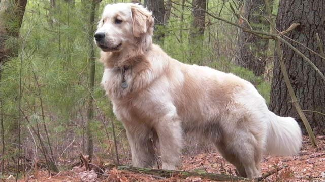 A Golden Retriever was voted the best dog for a woman owned to be considered &quot;girlfriend material.&quot; (Wikimedia Commons)