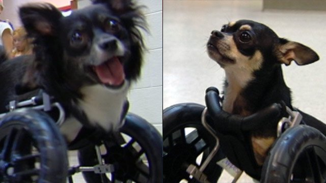 Whiskers (left) and Choppers (right) are playful, loving puppies in need of a new home. (June 19, 2012/FOX Carolina)