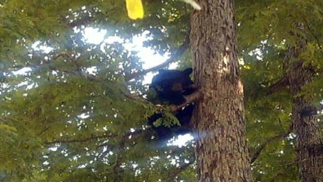 A small bear seen in a Powdersville backyard in June. (Courtesy the Brockways)