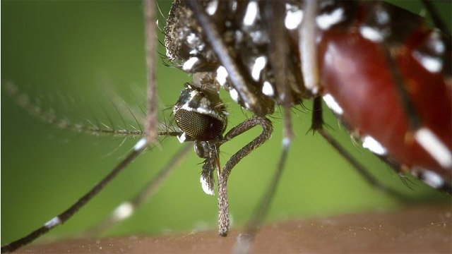 A mosquito feeds on human blood. (CDC/Wikimedia Commons)