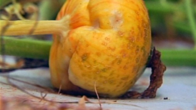A small pumpkin grows at Stewart Farms in Enoree. (Aug. 28, 2012/FOX Carolina)