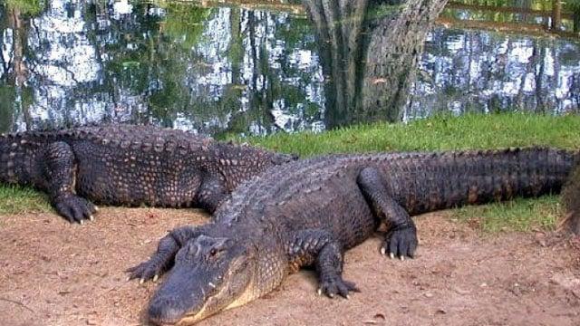 American alligators lounge along a coastline. (SCDNR)