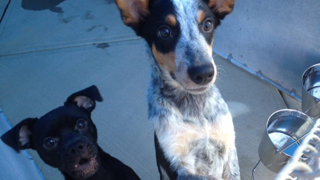 Two of the puppies available for adoption on Monday. (Sept. 9, 2012/FOX Carolina)