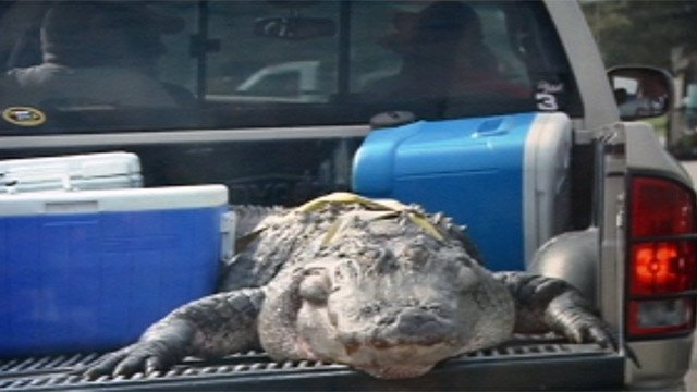 The gator hangs out the back of one of the men's trucks. (Courtesy Travis Smith)