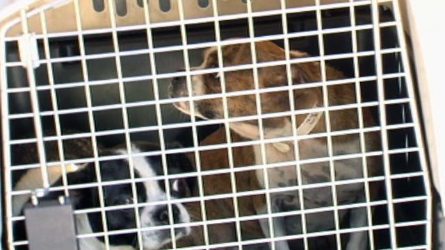 Two of the rescued dogs brought to the Greenville Humane Society. (Sept. 24, 2012/FOX Carolina)