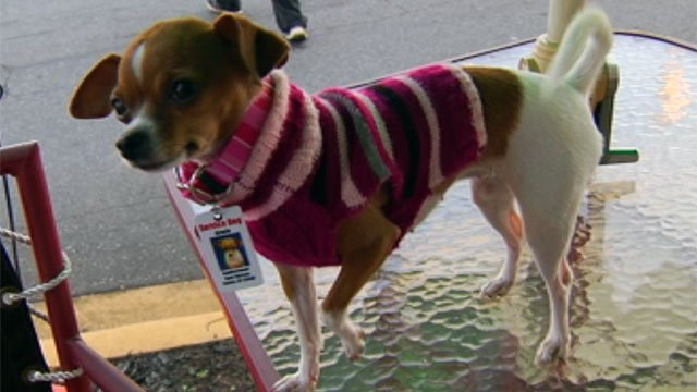 Lucy or Gracie the Chihuahua wearing a sweater the Watsons gave her. (Sept. 26, 2012/FOX Carolina)